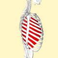 Innermost intercostal muscles lateral2.png