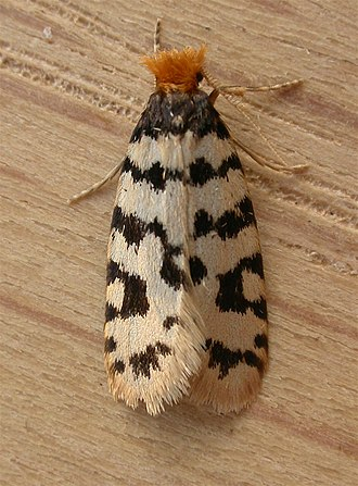 Bagworm moth - Adult of an undescribed Iphierga species from Aranda (Australia)