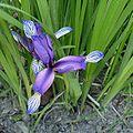 Iris graminea110.jpg