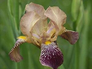 Iris germanica - Image: Iris squalens 250503