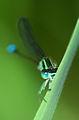 Ischnura elegans 04.jpg