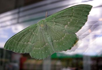 Isomittari (Large Emerald Moth), green butterfly
