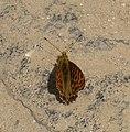 Issoria isaea IMG 0373a.jpg