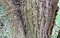 Ivy (Hedera helix) bark pattern, Perceton, Irvine, North Ayrshire.jpg