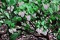 J20171121-0032—Arctostaphylos refugioensis 'Pink Glory'—RPBG—DxO (38513713896).jpg