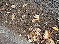 Jacaranda mimosifolia D.Don (AM AK298858-5).jpg
