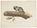 Jacchus vulgaris - 1818-1842 - Print - Iconographia Zoologica - Special Collections University of Amsterdam - UBA01 IZ20200009.tif