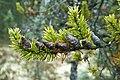 Jack Pine cones, Cameron River, near Yellowknife, Canada 1.jpg