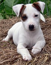 Jack Russell Terrier Wikipedia