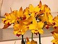 Jackfowlieara Home Gold -台南國際蘭展 Taiwan International Orchid Show- (40822575551).jpg