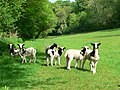 Jacob lambs at Torbryan - geograph.org.uk - 796002.jpg