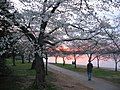 Japanese Cherry Trees.jpg
