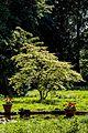 Japanischer Ahorn Queen-Auguste-Victoria-Park (Umkirch) jm30906.jpg