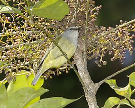Javan Grey-throated White-eye (Lophozosterops javanicus) - Flickr - Lip Kee.jpg