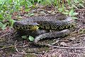 Jerdon's Red Spotted Pit Viper (Protobothrops jerdonii).jpg
