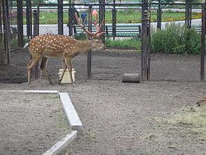 Jielbeaumadier cerf sika zoo cheljabinsk 2006.jpeg