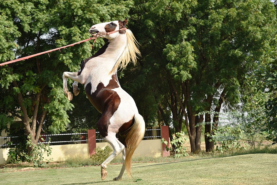 Jumping Marwari Stallion -Rihtik