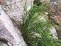 Juncus trifidus a2.jpg