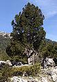 Juniperus - Ardıç 01.JPG