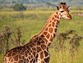 Juvenile, Uganda (15034729640).jpg