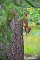 Juvenile squirrel climbing Pinus sylvestris, Hyvinkää, Finland, 2017-08-01 144850.jpg