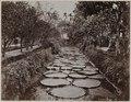 KITLV - 53177 - Lambert & Co., G.R. - Singapore - Victoria Regia - circa 1895.tif