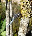 Keeled Skimmer. Orthetrum coerulescens. Mature Male. - Flickr - gailhampshire.jpg