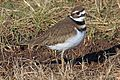 Killdeer - Charadrius vociferus, Occoquan Bay Wildlife Refuge, Virginia.jpg
