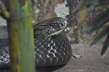 King cobra in Pune