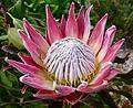 King Protea (Protea cynaroides) flower (30353071576).jpg