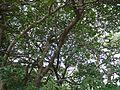 Kogal (Marathi- कोगल) (21866566355).jpg