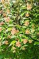 Kolkwitzia amabilis in La Jaysinia (2).jpg