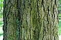 Korina 2015-05-10 Aesculus hippocastanum 1.jpg
