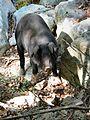 Korsisches halbwildes Schwein.jpg