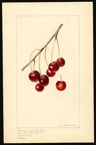 Louis Charles Christopher Krieger - Watercolor of Marasca Moscata variety of cherry (Prunus avium) by Louis Charles Christopher Krieger, 1933.