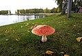Kuopio - Amanita muscaria.jpg