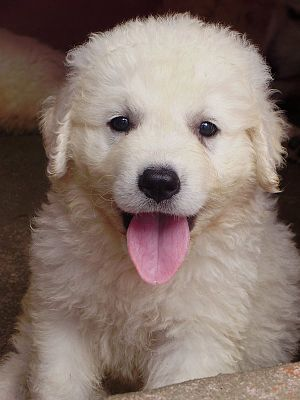 Kuvasz - A Kuvasz puppy.