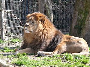 Dortmund Zoo - Image: Löwe Lukas