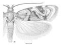 LEPI Oecophoridae Hierodoris electrica.png