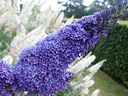 LS Buddleja 'Buzz Lavender', panicle