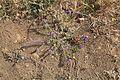 La Palma - Brena Alta - Subida al Mirador de la Concepción + Echium plantagineum 01 ies.jpg