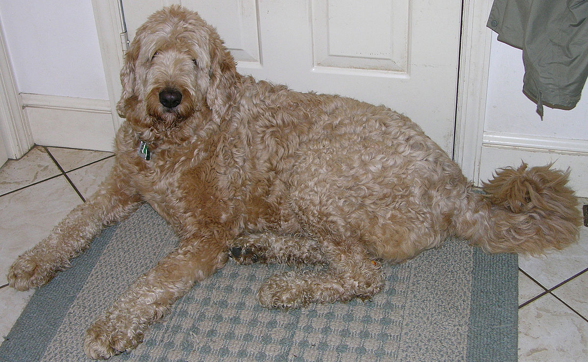 Labradoodle Simple English Wikipedia The Free Encyclopedia