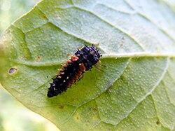 Ladybeetle larvae