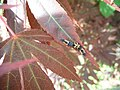 Ladybug larvaes (Coccinellidae sp.) on Maple leaf plant 2.jpg
