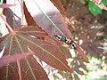 Ladybug larvaes (Coccinellidae sp.) on Maple leaf plant 2.jpg
