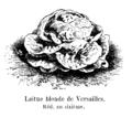 Laitue blonde de Versailles Vilmorin-Andrieux 1904.png