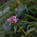 Lamier tacheté-Lamium maculatum-Fleurs-20141128.jpg