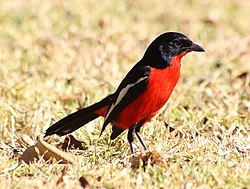 Laniarius atrococcineus -Pretoria, South Africa-8 (2).jpg