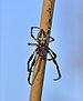 Larinioides cornutus qtl2.jpg