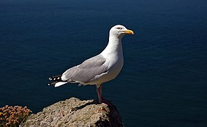 Herring gull, photo taken in South Stack RSPB Reserve in Wales